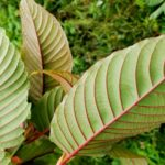 Kratom's Alkaloids Evolved In Order To Prevent Insects From Eating It's Leaves