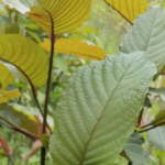 Scientific Study Finds That Kratom Reverses Physiological Damage Caused By Opioid Dependence, Including Reversing The Upregulation Of cAMP And Reversing The Downregulation Of Mu-Opioid Receptors